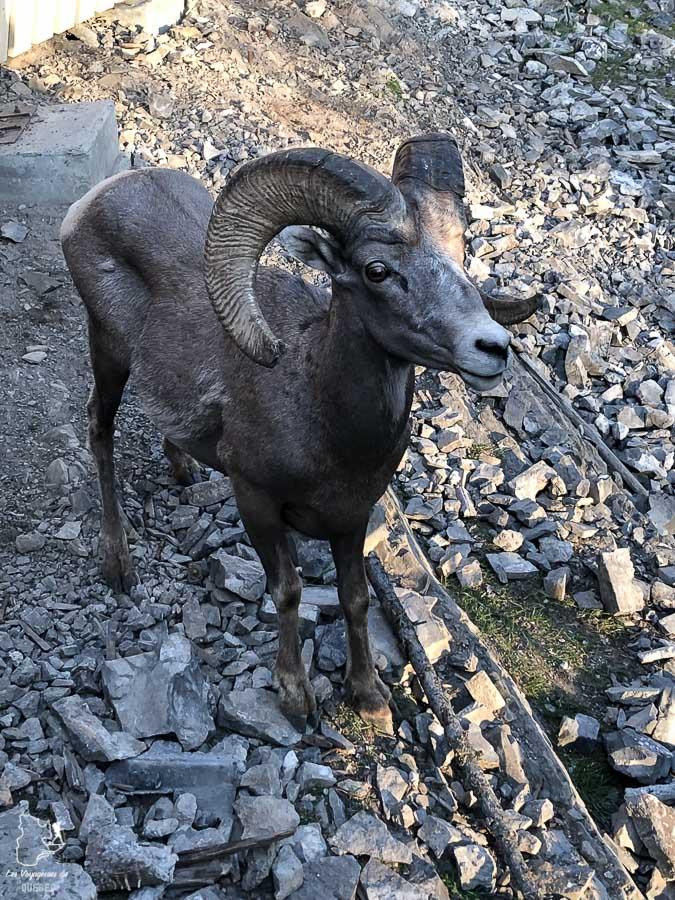 Mouflon lors du tour en gondole dans le Parc national de Banff dans notre article Rocheuses canadiennes : road trip de 3 jours entre Banff et Jasper #rocheuses #rocheusescanadiennes #ouestcanadien #canada #voyage #montagne #alberta #banff