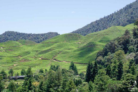 Plantation de thé à Bogor sur l'île de Java dans notre article Autre regard sur l'île de Java en Indonésie : Un voyage à Java autrement #java #indonesie #voyage #horsdessentiersbattus #javaautrement #iledejava