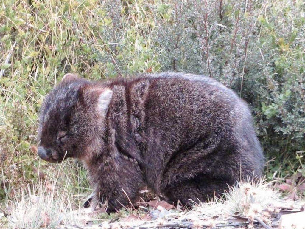 Wombat, animal très présent sur l'île de Tasmanie dans notre article Que faire en Tasmanie : Mon itinéraire de road trip à travers l'île de Tasmanie #tasmanie #australie #ile #voyage #roadtrip