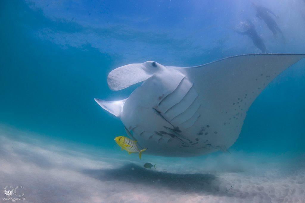 Plongée sous-marine avec raie manta à Ningaloo dans notre article Plongée sous-marine : 20 destinations de plongée à travers le monde #plongee #plongeesousmarine #voyage #destination