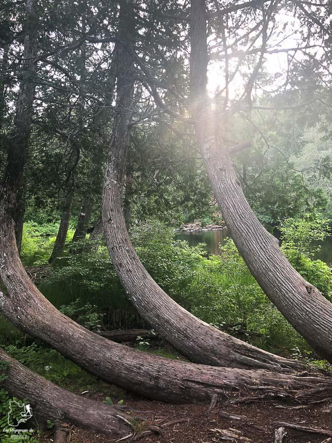 Forêt de pins sur le Sentier de la Matawinie dans Lanaudière dans notre article Randonnée dans Lanaudière : 100 km sur le sentier national (sentier de la Matawinie) #randonnee #lanaudiere #matawinie #sentiernational #quebec #canada
